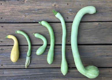 stages next to yellow squash